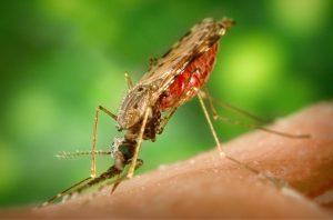 Moustique et paludisme