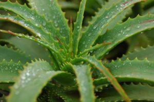 Vertus hydratantes de l'aloe vera contre le psoriasis