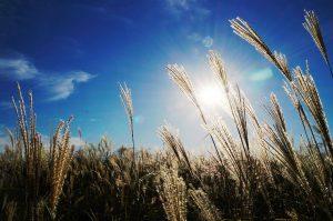 Son de blé, un laxatif naturel